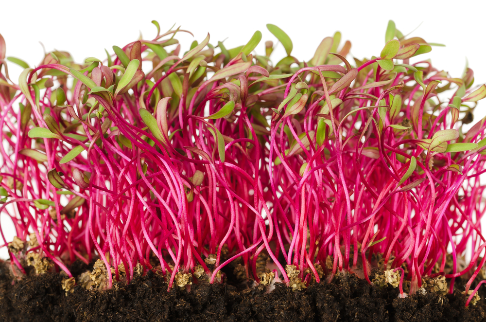 Beet Sprouts